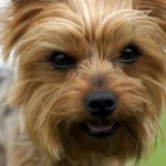 Pet of the Week: The Yorkshire Terrier